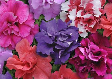 Petunia Multiflora Double Duo Mix Earley Ornamentals