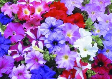 Petunia Multiflora Frenzy Mix Earley Ornamentals