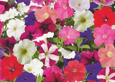 Petunia Success Earley Ornamentals