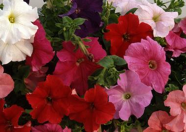 Petunia Supercascade Earley Ornamentals