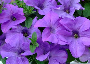 Petunia Surfinia Heavenly Blue Earley Ornamentals