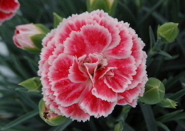 Pinks Coral Reef Scent First Earley Ornamentals