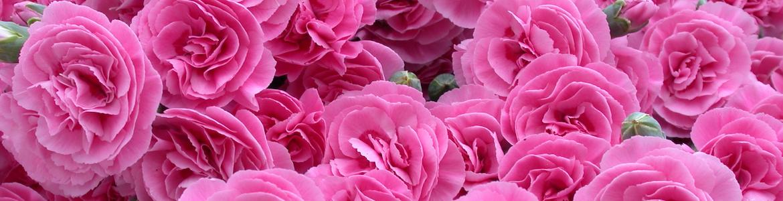Pinks Garden Valda Wyat Earley Ornamentals