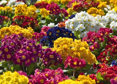 Polyanthus Crescendo Mix Earley Ornamentals