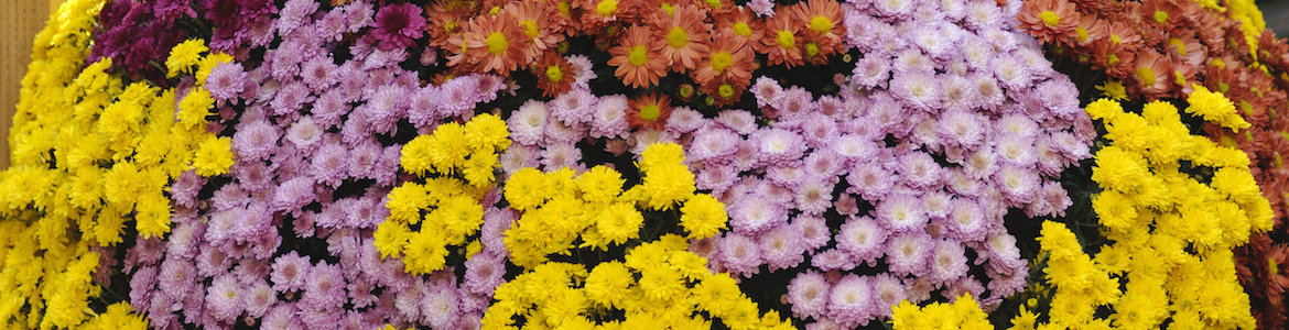 Poppins Chrysanthemum Mix Earley Ornamentals