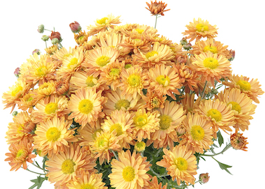 Poppins Chrysanthemum Prelude Apricot Earley Ornamentals