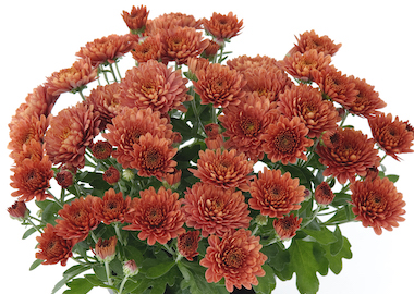 Poppins Chrysanthemum Prelude Autumn Bronze Earley Ornamentals