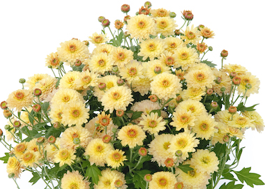 Poppins Chrysanthemum Prelude Popcorn Earley Ornamentals