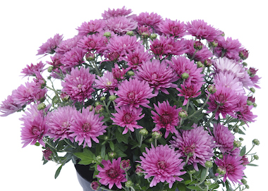Poppins Chrysanthemum Prelude Rose Pink Earley Ornamentals