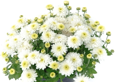 Poppins Chrysanthemum Prelude White Earley Ornamentals