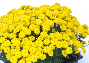 Poppins Chrysanthemum Yellow Jewel Earley Ornamentals