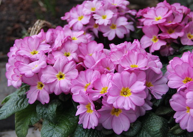 Primrose Woodland Rose Earley Ornamentals