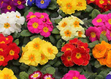 Primula Ambie Mix Earley Ornamentals