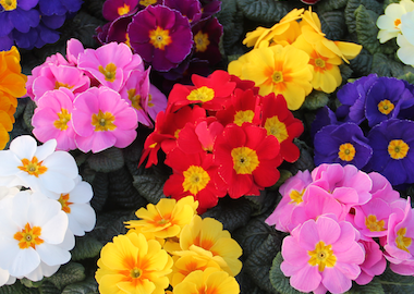 Primula Charlie Mix Earley Ornamentals