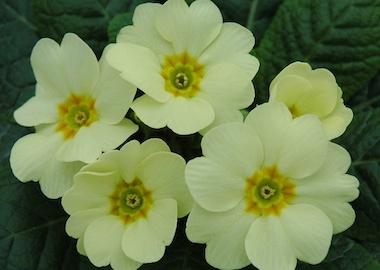 Primula Corniche Cream Earley Ornamentals