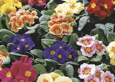 Primula Daniella Mix Earley Ornamentals