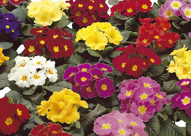 Primula Danova Mix Earley Ornamentals