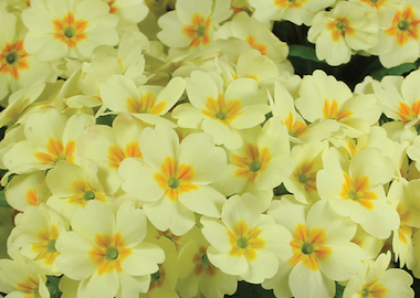 Primula Everlast Earley Ornamentals
