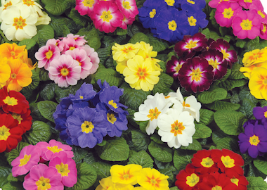 Primula Evie Mix Earley Ornamentals