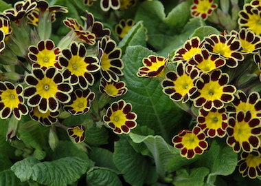 Primula Mister Gold Lace Earley Ornamentals