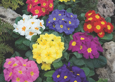 Primula Orion Mix Earley Ornamentals