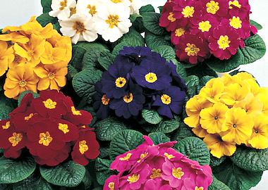 Primula Primera Mix Earley Ornamentals