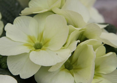 Primula Primrose Mojito Earley Ornamentals
