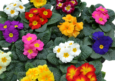 Primula Primus Mix Earley Ornamentals