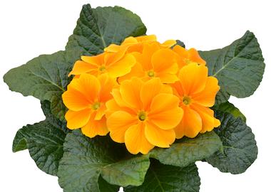 Primula Primus Orange Earley Ornamentals