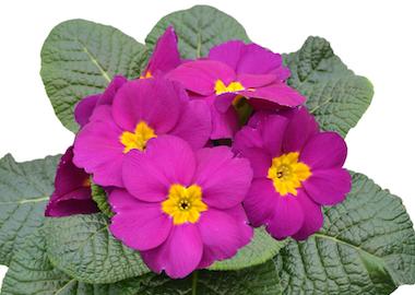 Primula Primus Violet Earley Ornamentals