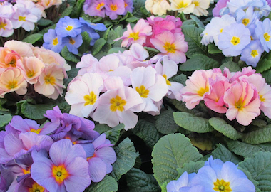 Primula Provence Mix Earley Ornamentals