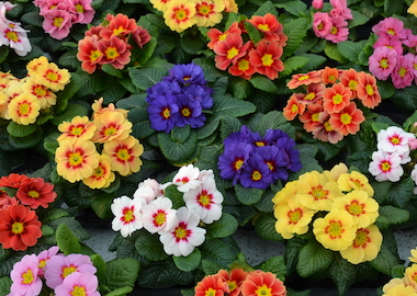Primula Ringostar Mix Earley Ornamentals