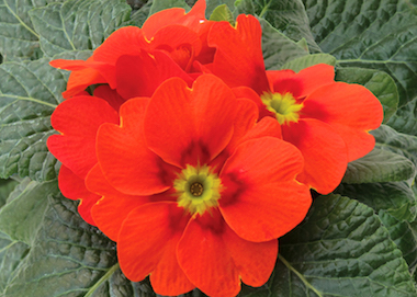 Primula Ringostar Orange Red Earley Ornamentals