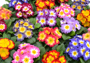 Primula Starflame Mix Earley Ornamentals
