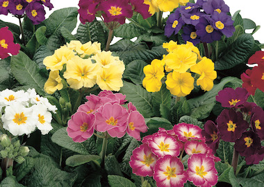 Primula SuperNova Mix Earley Ornamentals