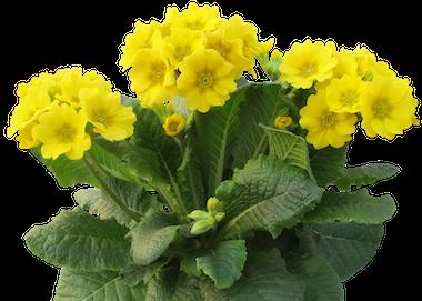 Primula Veristar Yellow Earley Ornamentals