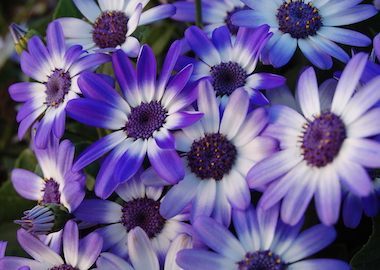 Senetti Blue Bicolour 15 Earley Ornamentals