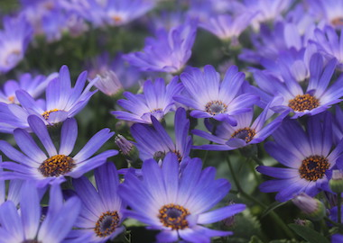 Senetti Magic Blue Earley Ornamentals