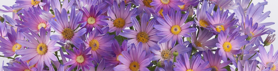 Senetti Magic Salmon Bicolour Banner Earley Ornamentals