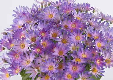 Senetti Magic Salmon Bicolour Earley Ornamentals