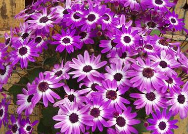 Senetti Violet Bicolor Earley Ornamentals
