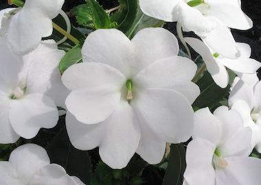 SunPatien Compact White Earley Ornamentals