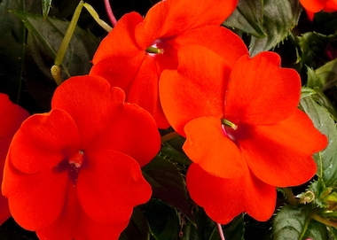 SunPatiens Compact Electric Orange Earley Ornamentals