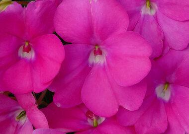 SunPatiens Compact Hot Lilac Earley Ornamentals