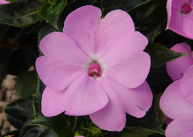 SunPatiens Compact Orchid Blush Earley Ornamentals