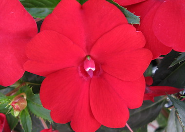 SunPatiens Compact Red Earley Ornamentals