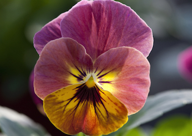 Viola Bel Viso Pineapple Crush Earley Ornamentals