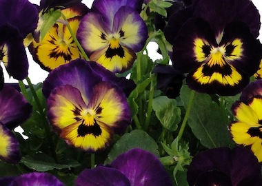 Viola Grandissimo Berry Pie Earley Ornamentals