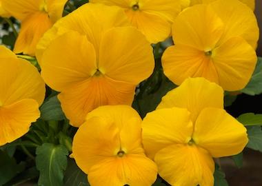 Viola Grandissimo Clear Yellow Earley Ornamentals