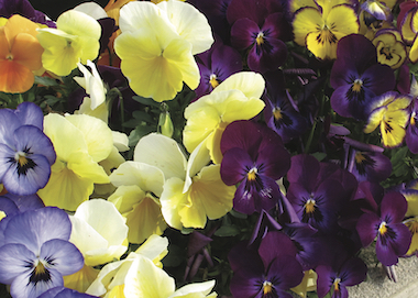 Viola Grandissimo Mix Earley Ornamentals